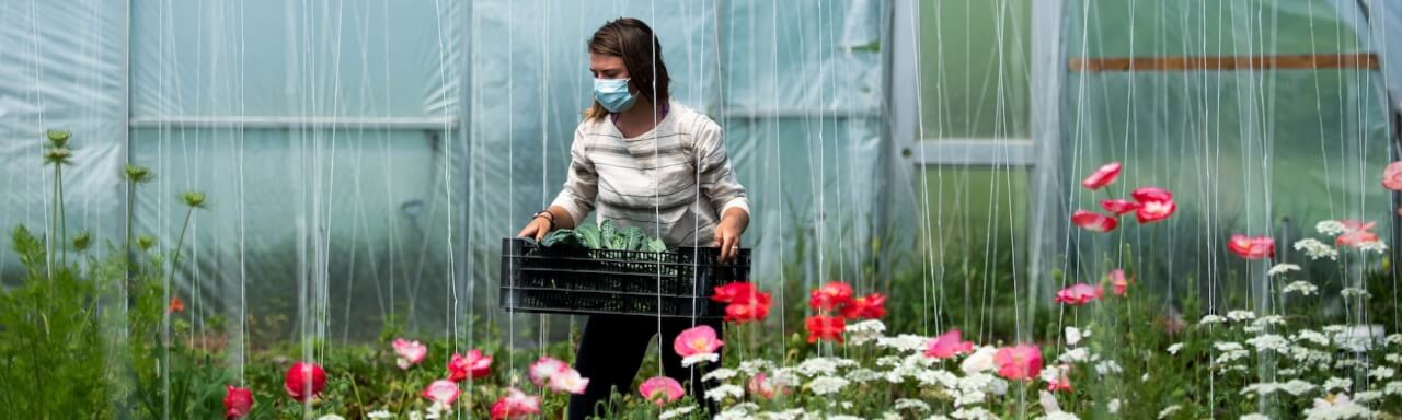 Interim farm manager, Margaux Sellnau, harvests crops in the hoop house of the GVSU educational farm